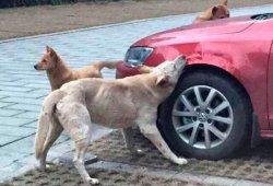 Unos perros destrozan a mordiscos un Volkswagen Jetta en China
