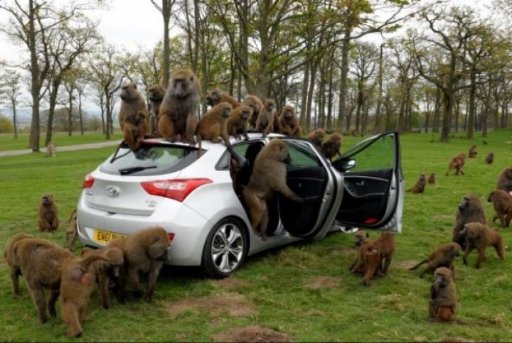 Hyundai somete al nuevo i30 a una dura prueba de calidad/resistencia: la de los babuinos
